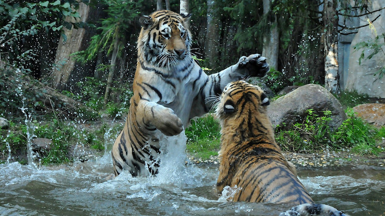 Fight for your line, you tiger